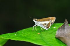 Watson's wight butterfly. Of thailand background Stock Image