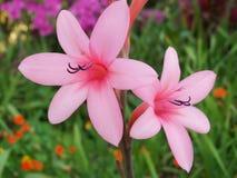 Watsonia Royalty-vrije Stock Afbeeldingen