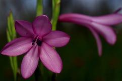 Watsonia púrpura Foto de archivo libre de regalías