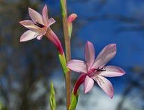 Watsonia rosado Foto de archivo libre de regalías