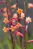 Watsonia flowers in South Africa Stock Photo