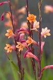 Watsonisbloemen in Zuid-Afrika stock foto