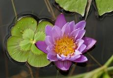 Watter violeta Lilly Fotografia de Stock