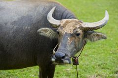 Watterbuffalo in thailand Stock Photos