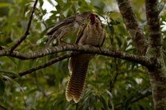 Wattle πουλί που ταΐζει έναν νεανικό κούκο Στοκ Εικόνες