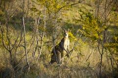 wattle вала кенгуруа Стоковое фото RF