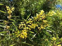 Wattle цветка Wattle ряда щепок Верб-leaved растя в a стоковое фото rf