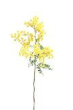 Wattle Stock Photos