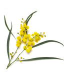 Wattle Stock Photography