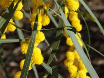 wattle Obrazy Royalty Free