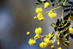 Wattle Royalty Free Stock Images