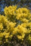 Wattle australiano na mola com flor de florescência amarela Fotografia de Stock