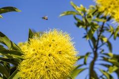 Wattle dourado, lagos nortes, Queensland, Austrália imagens de stock