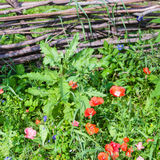 Wattle fence and meadow with red poppy flowers Stock Photo