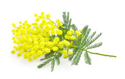Wattle flower or mimosa branch, symbol of 8 march, women interna Royalty Free Stock Photography