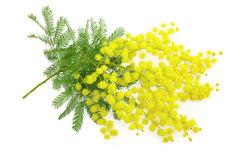 Wattle flower or mimosa branch, symbol of 8 march, women interna Royalty Free Stock Photos