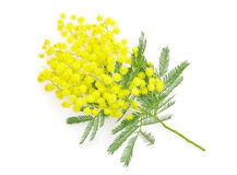 Wattle flower or mimosa branch, symbol of 8 march, women interna Royalty Free Stock Image