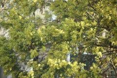 Wattle flowers. Yellow wattle flowers in full bloom. Australia royalty free stock photos
