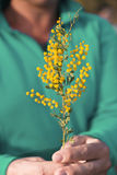 Wattle in hand Royalty Free Stock Image