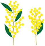 Wattle Royalty Free Stock Photo