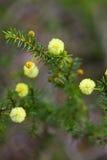 Wattle Seedling Acacia Decurrens Stock Image