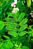 wattle tan листьев сада Стоковое Изображение RF