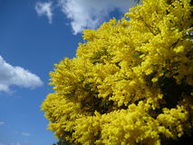 Wattle tree in brilliant yellow blossum. This Australian Wattle tree is in brilliant yellow blossom with a blue sky and a few white clouds int eh background Stock Images