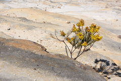 Wattle tree pushing through rocks. Small wattle tree forces its way out between rocks Royalty Free Stock Photo