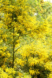 Wattle Trees Stock Image