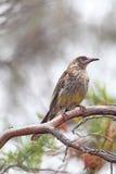 wattlebird för anthochaeracarunculatared Royaltyfria Bilder