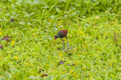 Wattled搜寻在沼泽的食物的Jacana 免版税库存照片