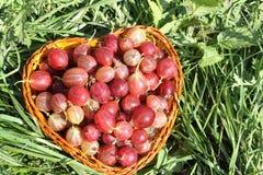 Wattled篮子用鹅莓 免版税库存照片
