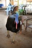 wattled двойник cassowary стоковые изображения rf