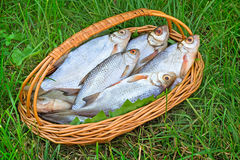 Wattled basket with the caught fish on the river bank. Royalty Free Stock Photography