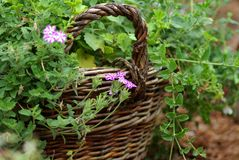 Wattled basket is filled by green plants Stock Photography