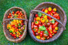 Wattled basket filled with red ripe tomatoes Royalty Free Stock Photography