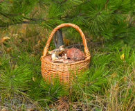 Wattled basket with mushrooms Stock Photos