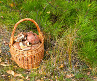 Wattled basket with mushrooms Royalty Free Stock Images