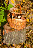 Wattled basket with mushrooms Royalty Free Stock Photography