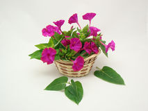 Wattled basket with phlox. Wattled basket with beautiful flowers phlox Royalty Free Stock Images