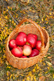 Wattled basket with red apples Stock Photography