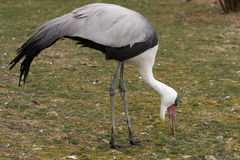 Wattled Crane Royalty Free Stock Image