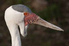Wattled crane Stock Photo