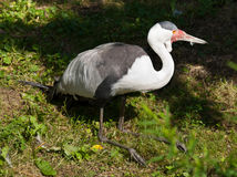 Wattled Crane Royalty Free Stock Photos