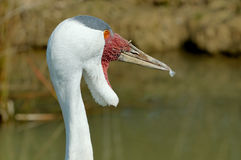 Wattled Crane Stock Photography