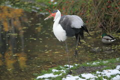 Wattled Crane Royalty Free Stock Images
