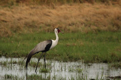 Wattled Crane Royalty Free Stock Photography
