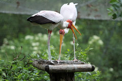 The Wattled Crane Royalty Free Stock Photo