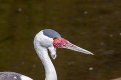Wattled crane Royalty Free Stock Photos