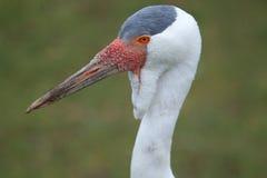 Wattled crane Stock Image